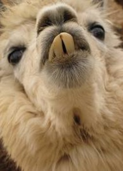 Amazing Pictures of Animals, photo, Nature exotic, funny, incredibel, Zoo, Vicugna pacos, Alpaca, Alex (13)