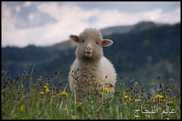 خروف صغير
