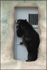 funny-bear-knocking-door