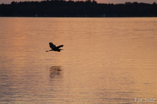 Great Blue heron on Fish Hook Lake