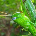Giant Grasshopper (aka Giant Valanga)