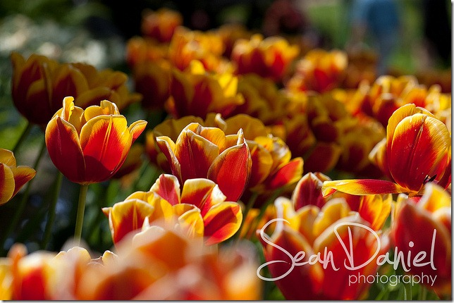 Fire Tulips