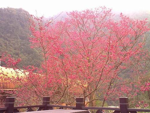 1280px-Sakura_in_Wulai.JPG