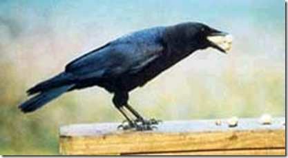 black crow