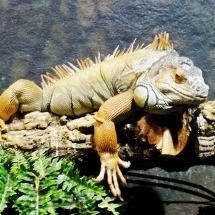 Iguana at Aquarium Barcelona
