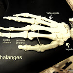 hand_metacarpals _labeled.JPG