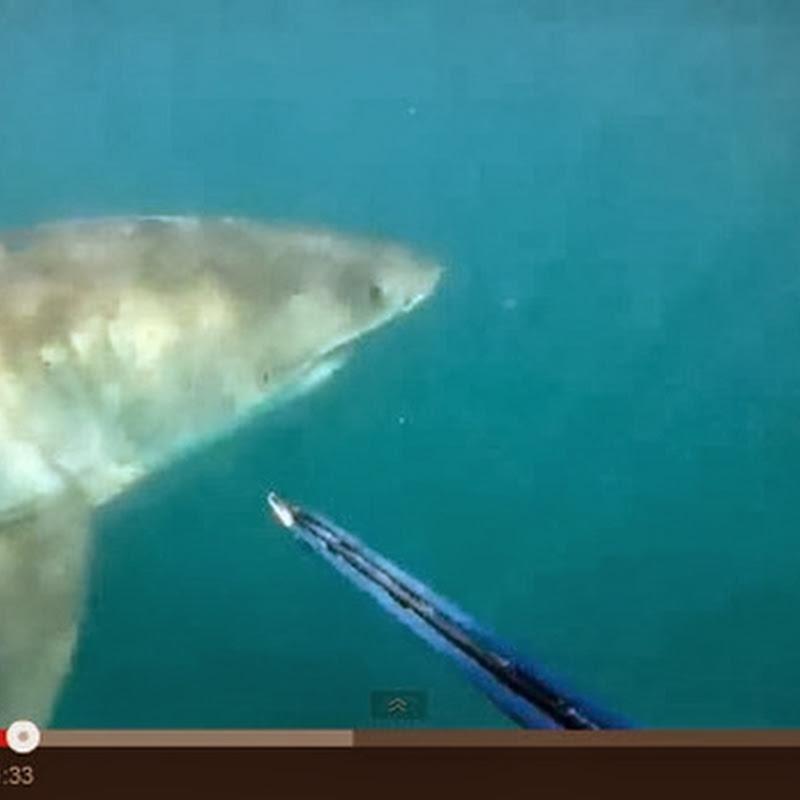 Συνάντηση με ένα λευκό καρχαρία