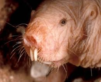 Amazing Pictures of Animals, photo, Nature, exotic, funny, incredibel, Zoo, Naked mole rat, Heterocephalus glaber, Rodentia, Alex (13)