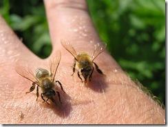 včely na květu a matečniky 140
