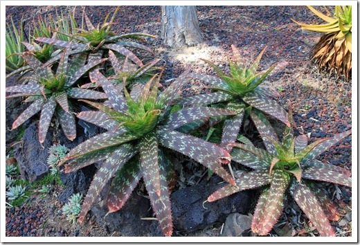 130403_Lotusland_Aloe-Garden_AM_Aloe-macrocarpa_05