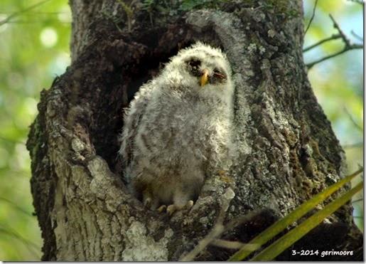baby myakka owl em 016