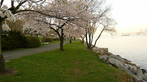 Cherry Walk is part of Riverside Walk, an uninterrupted four-mile-long path along the Hudson River from 72nd to 158th Street that is shared by walkers, runners, roller bladers, dogs, kids, and bikers! (And flowering tree lovers, too!)