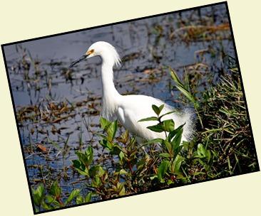 09b - Snowy Egret