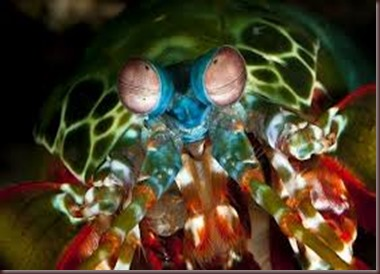 Amazing Pictures of Animals Mantis shrimp stomatopods crustaceans sea locusts (4)