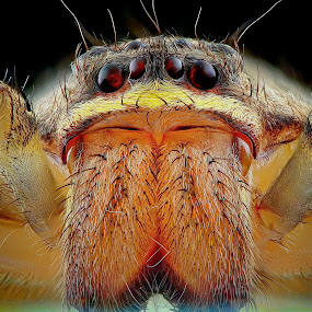 huntsman spider by Rhonny Dayusasono - Animals Insects & Spiders