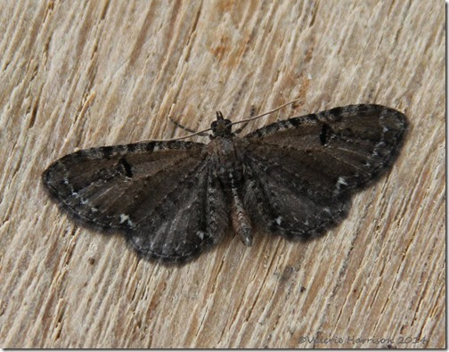 currant-or-common-pug