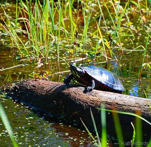 20. turtle-kab