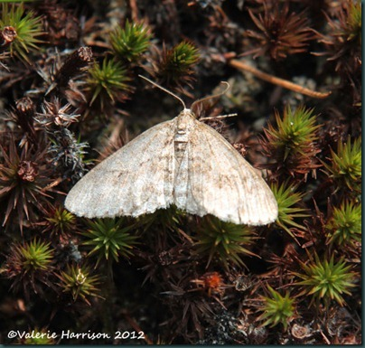8-early tooth striped moth
