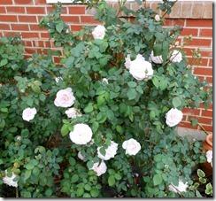 roses souviner
