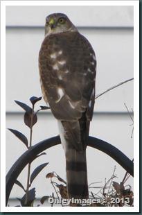 sharpshin hawk (4)