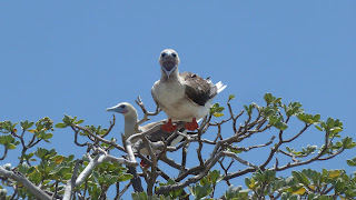Red-footed Boobies.