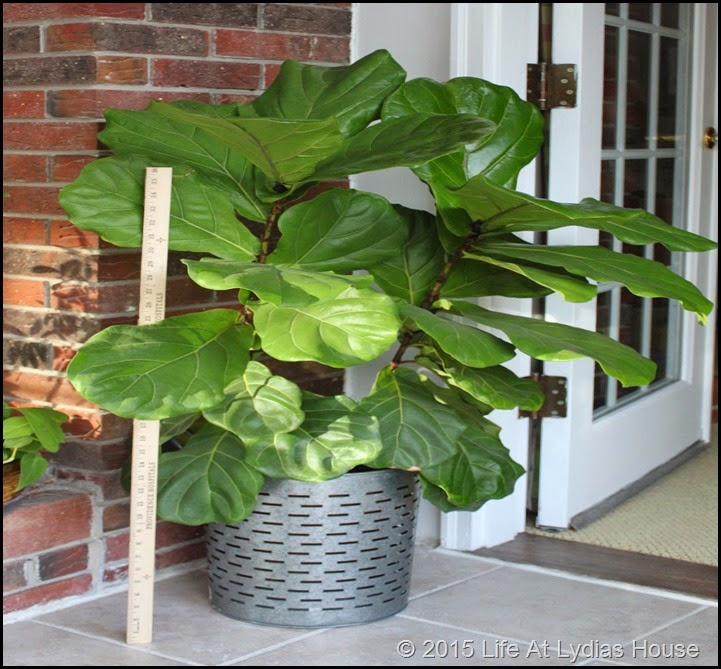 fiddle leaf fig tree w yardstick