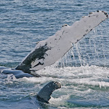 Humpback whale flipper