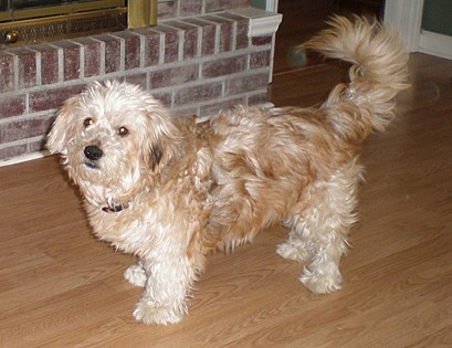 Buddy, a Wheaton terrier from Elkin, North Carolina.
