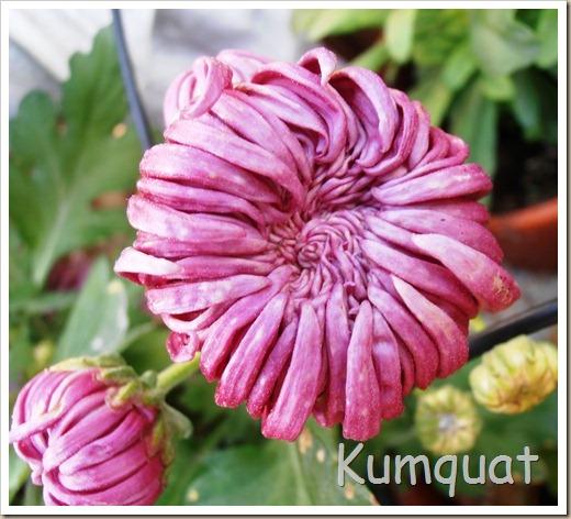 crisantemo turner 5