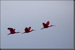 LL - ibis