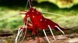 Biodiversité crevette de sang