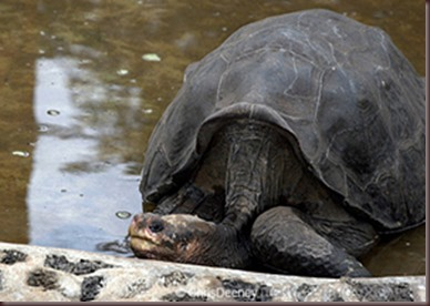 Amazing Animals Pictures Pinta Island tortoise (5)