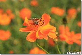 連蜜蜂都循著花香而來,一起來湊熱鬧。