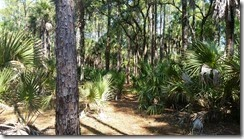 Trail through palmettos