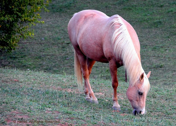 hairless horse