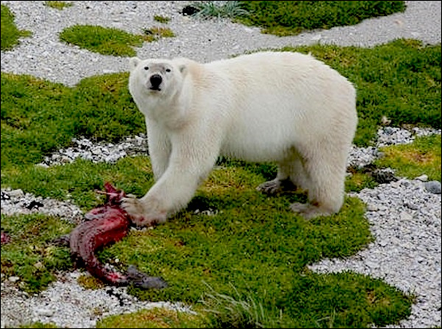 A polar bear (Ursus maritmus) after hunting its historically preferred prey - ringed seal (Pusa hispida).polar bears (Ursus maritimus) have dropped in numbers as their habitat melts, with previous estimates forecasting a further 30 percent reduction within three generations.  Photo: R. Rockwell / AMNH
