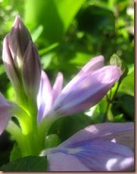 waterhyacinth3