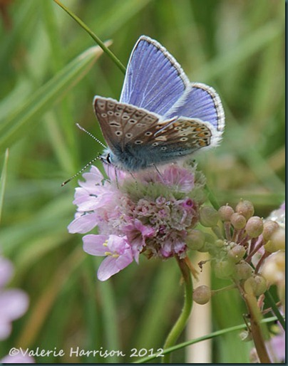 53-common-blue
