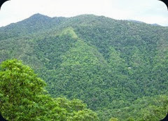 Rainforrest_between_Kuranda_and_Cairns,_North_East_Queensland