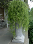 This large hairy rhipsalis, an epiphytic cacti, has also been returned to its place on the porch.  Franny, I think we can move on from this area!