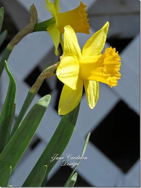 Daffodil_SOOC