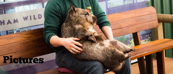 wombat-caversham-wildlife-park-pictures-by-jacky