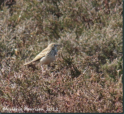 10-meadow-pipit
