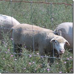 IDF Sheep Aug 005