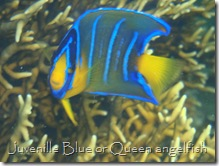 Juvenile Blue or Queen angelfish