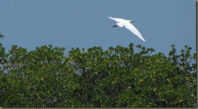 kayaking around sunshine key, great egret