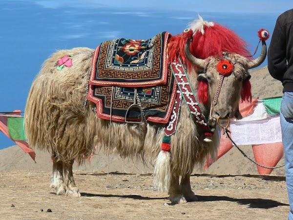 Imagini Tibet: Yak la Yamdrok Tso.JPG