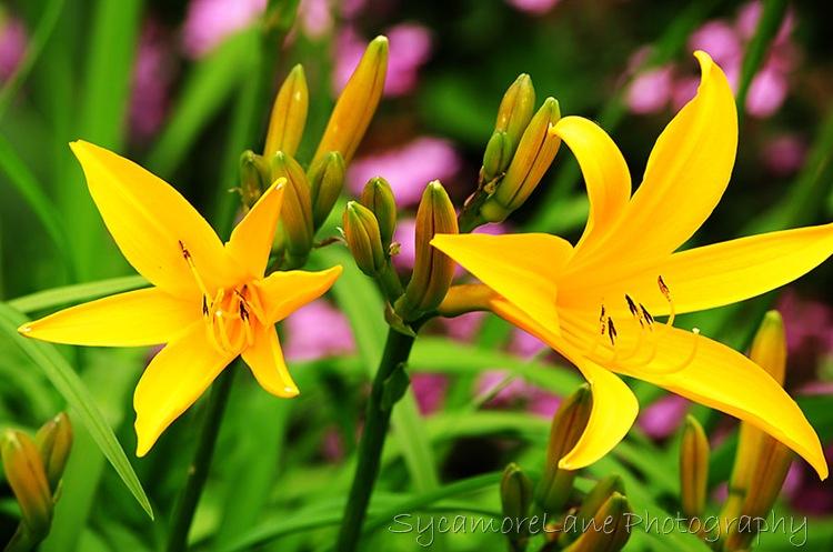 lilies-w
