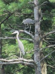 great blue heron 2 in tree.1. 8.6.2013
