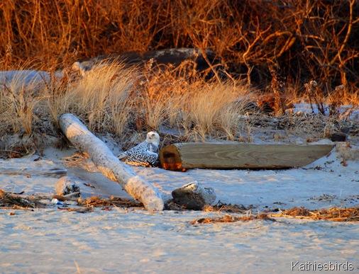 17. snowy owl-kab